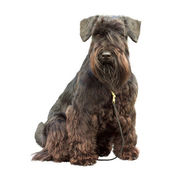 Portrait of a thoroughbred dog Black Miniature Schnauzer — Stock Photo