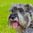 Dog miniature schnauzer pepper and salt color — Stock Photo