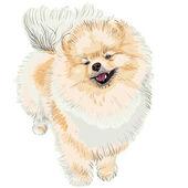 Spitz dog smiles — Stock Vector