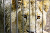 Lion in the Zoo — Stok fotoğraf