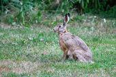 Hare oturan — Stok fotoğraf