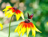 Butterfly Inachis Io On Yellow Flower — Stock Photo