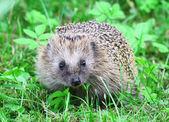 Wild hedgehog — Stock Photo