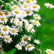 Green grass with daisy flowers — Stock Photo