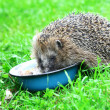 Hedgehog — Stock Photo #6446969