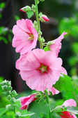 Pink malva Silvestris. Mallows — Stock Photo