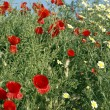 Poppies with blue sky - Foto Stock