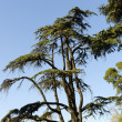 Umbrella pine - Stock Photo