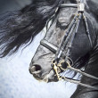 Portrait of frisian horse — Stock Photo