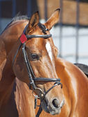 Portrait of beautiful bay horse — Stock Photo