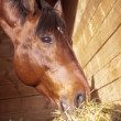 Portrait of eating horse  in loose-box — Stockfoto