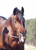Funny yawning horse — Stock Photo