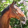 Stock Photo: Portrait of nice bay horse near lilac flowers