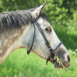 Stock Photo: Nice grey horse in spring field