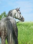 Buen caballo gris en prado verde — Foto de Stock