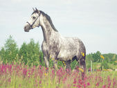 Grey horse in blossom meadow — Stock Photo