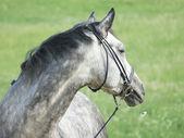 Ritratto di bel cavallo grigio con daisy — Foto Stock