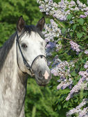 Portrait of grey horse near lilac flowers — Stock Photo