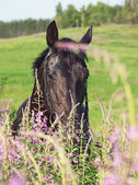 Portrait of black stallion in blossom meadow — Stock Photo