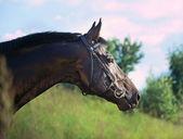 Portrait of breed black stallion — Stock Photo