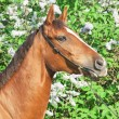 Stock Photo: Portrait of nice chestnut horse near lilac flowers
