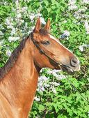 Portrait of nice chestnut horse near lilac flowers — Stock Photo