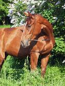 Portrait of chestnut horse around lilac flowers — Stock Photo