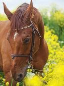Retrato de caballo rojo hermoso alrededor de flores amarillas — Foto de Stock