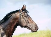 Portrét krásné černé koně — Stock fotografie