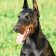 Foto Stock: Portrait of beautiful breed black doberman