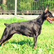 Exterior of beautiful etalon doberman — Stock Photo #6165384