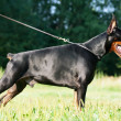 Exterior of amazing breed doberman black mare - Zdjęcie stockowe