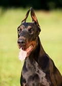 Portrait of amazing doberman dog — Stock Photo