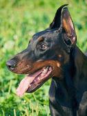 Portrait of amazing breed black doberman — Stock Photo