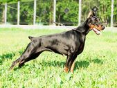Exterior of beautiful etalon doberman — Stock Photo