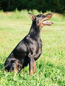 Amazing breed black doberman — Stock Photo