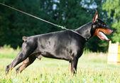 Exterior of amazing breed doberman black mare — Stock Photo