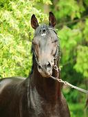 Portrait of wonderful black trakehner stallion — Stock Photo