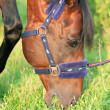 Stock Photo: Grazing horse in nice halter