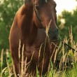 Stock Photo: Nice horse in meadow at evening