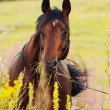 Stock Photo: Portrait of amazing bay horse in blossom field