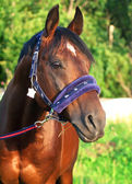 Horse in nice halter — Stock Photo