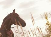 Porträtt av bay häst på kvällen — Stockfoto