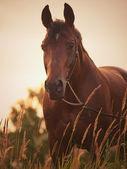 Portrait of amazing bay horse at sunset — Stock Photo