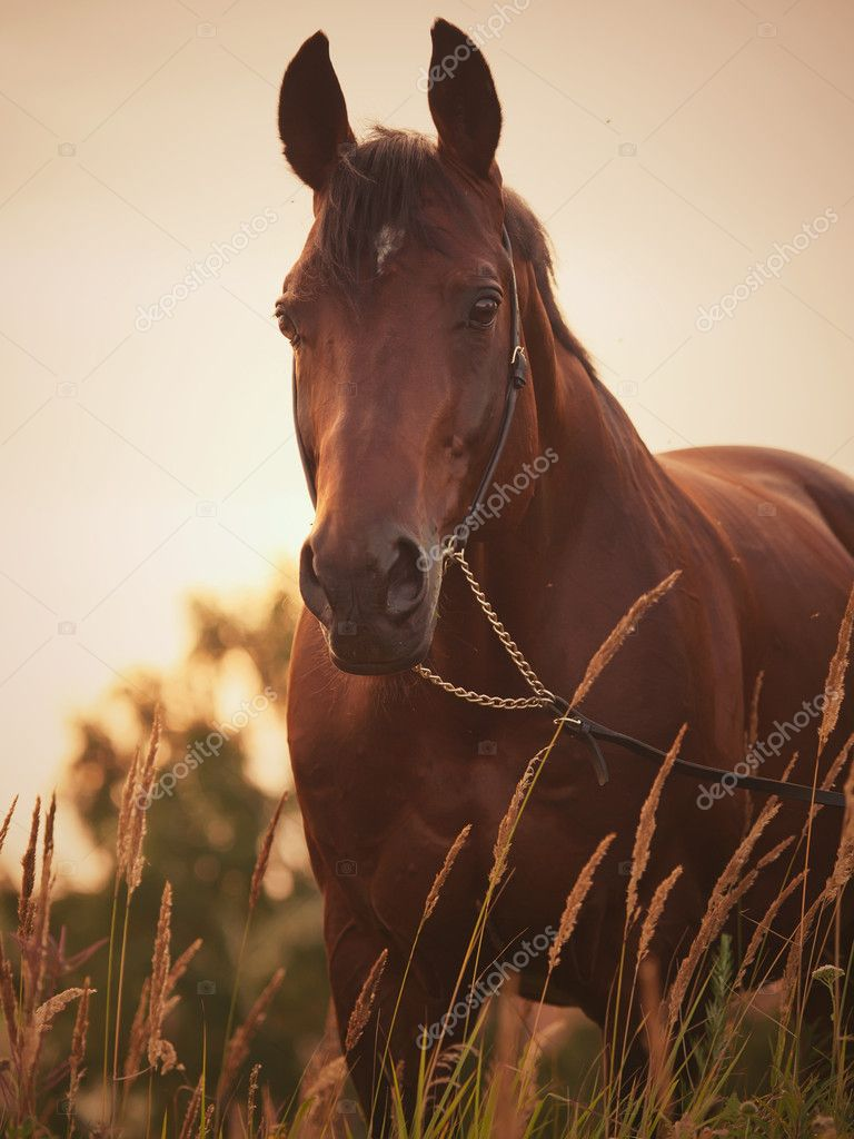 Portrait of bay  horse  outdoor cloudy evening  summer — Stock Photo #6325869
