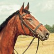 Stock Photo: Portrait of bay horse in field