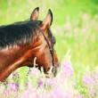 Stock Photo: Portrait of beautiful bay horse in blossom closeup