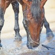 Splashing bay horse in lake — Stock Photo #6475752