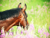 Portrait of beautiful bay horse in blossom closeup — Stock Photo