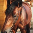 Stock Photo: Portrait of bay horse in stable